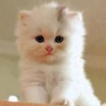 Облако - это что-то белое и пушистое. Фото белого пушистого котёнка